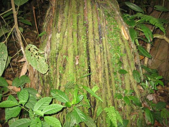 Lost Iguana Resort & Spa: Moss covered tree trunk 'hanging bridges'