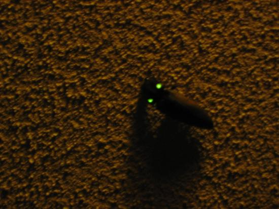 Lost Iguana Resort & Spa: Beetle with self generating lights on wings
