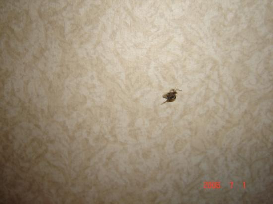 Days Inn Vernon : bug on wall and floor killed it