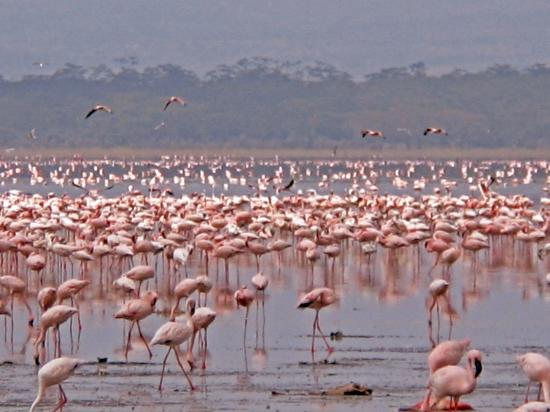 Lake Nakuru National Park, Kenia: A million flamingoes