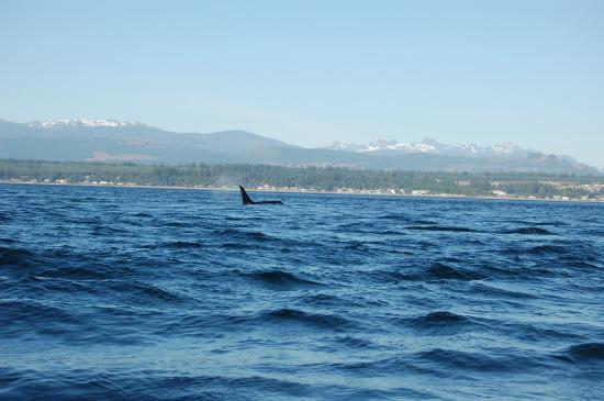 April Point Resort & Spa : Killer whale from our fishing boat
