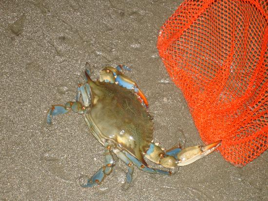 South Beach Inn: Blue Crab found at nearby beach