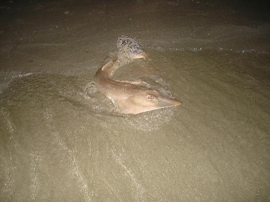 South Beach Inn: 2 1/2 ft. guitarfish found at nearby beach