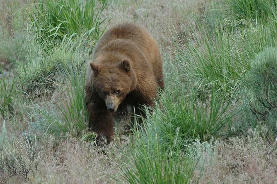 Roosevelt Lodge Cabins: Cinnamon colored black bear, walking distance to Roosevelt Lodge