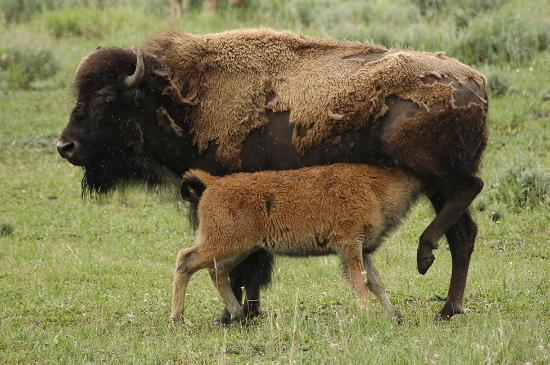 Roosevelt Lodge Cabins: Lots of bison in Lamar Valley, close to Roosevelt!