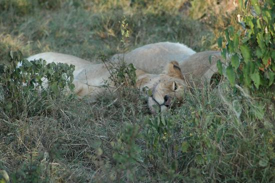 Fairmont Mara Safari Club: Sleeping off Lunch !