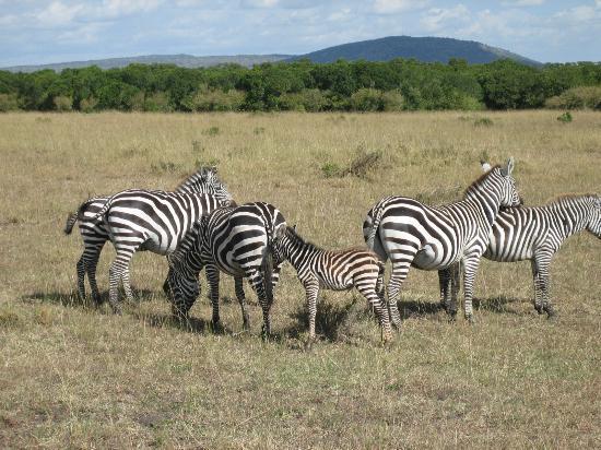 Fairmont Mara Safari Club: Zebras on our drive