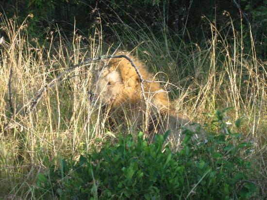 Fairmont Mara Safari Club: Lion