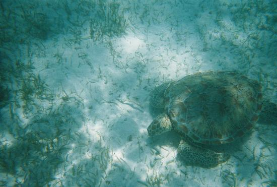 akumal bay snorkeling with turtles picture of hotel. Black Bedroom Furniture Sets. Home Design Ideas
