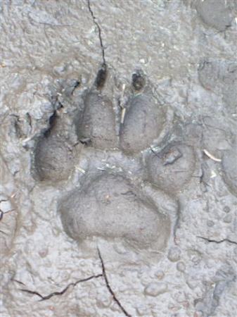Johnston Canyon Lodge and Bungalows: Bear-tracks on the Inkpots Trail !