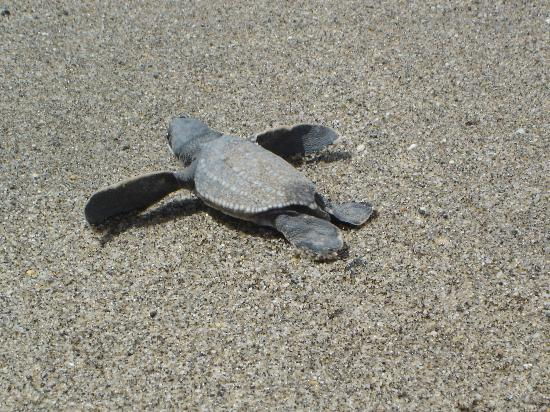 Le Grande Almandier: Leatherback Turtle rushing towards sea