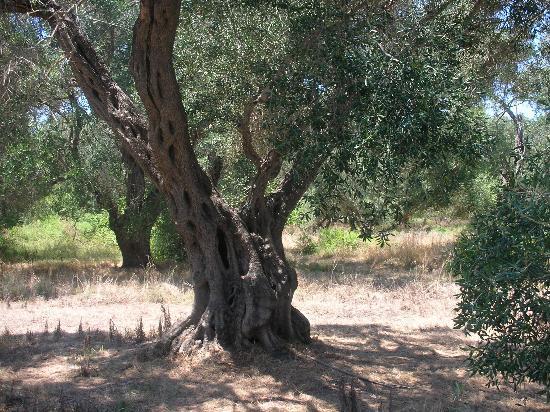 Stars Hotel: Olive groves around Stars Studios