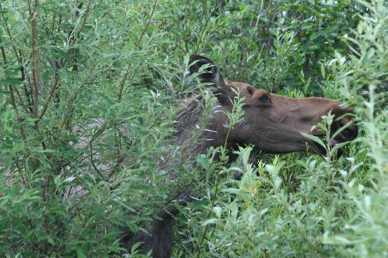 Denali Lakeview Inn: Moose on Stampede Road