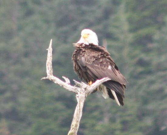 Alaska Saltwater Lodge: Bald eagle from room doorway