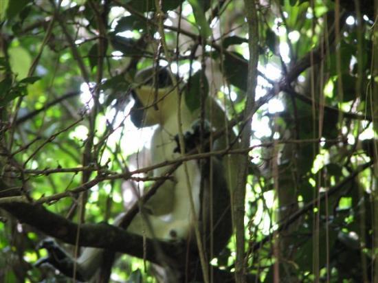 Nisbet Plantation Beach Club : Yes, You Can See Monkeys