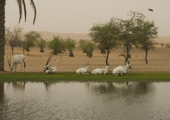Al Maha, A Luxury Collection Desert Resort & Spa: One of the watering holes and the Oryx