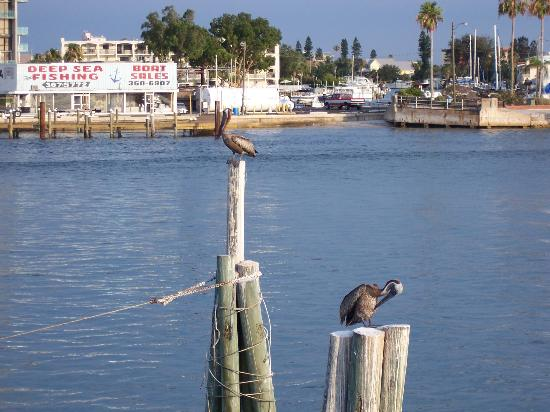 Madeira Beach, Flórida: Pelicans on John's Pass Boardwalk