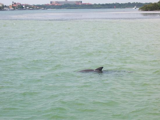 John's Pass Village and Boardwalk: Dolphins in Boca Ciega Bay- On a Dolphin Watch Tour off of the Boardwalk