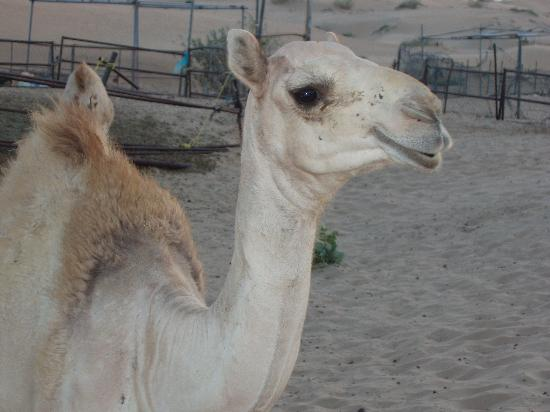 Ajman, Emiratos Árabes Unidos: Desert safari