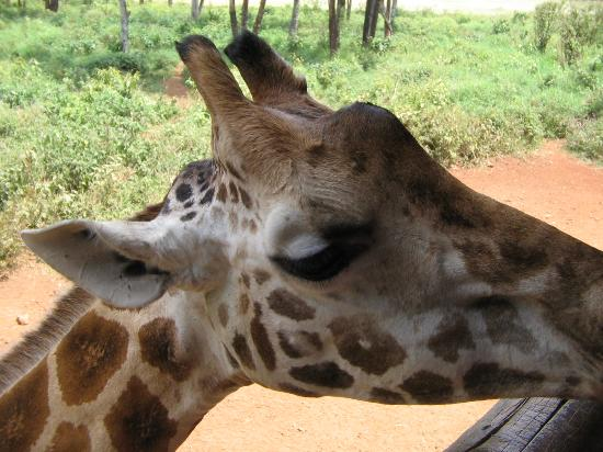 Giraffe Centre: Giraffes come very close to visitors