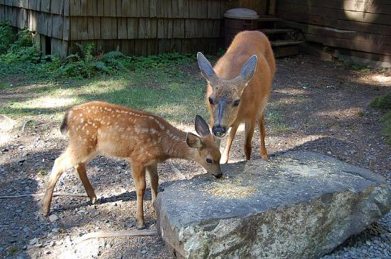 Mounthaven Resort: friendly deer