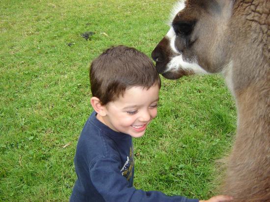 Ali Shungu Mountaintop Lodge: kissing llama