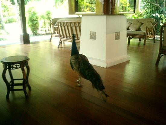 Pangkor Laut Resort: Peacocks roam freely