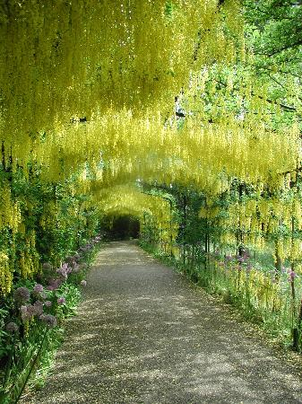 East Molesey, UK: Laburnum Walk in the Gardens