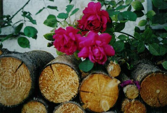 Pension Schlosserhof: Roses in parking area