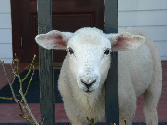 States Inn & Ranch: Lambo the pet lamb