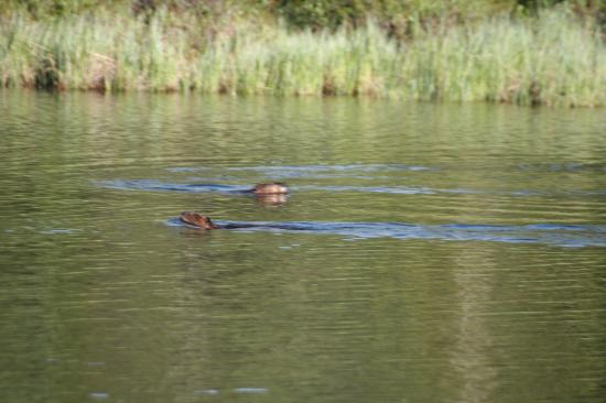 Denali Highway Cabins : Beaver on the float trip