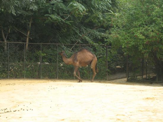 Menagerie du Jardin des Plantes: Camel