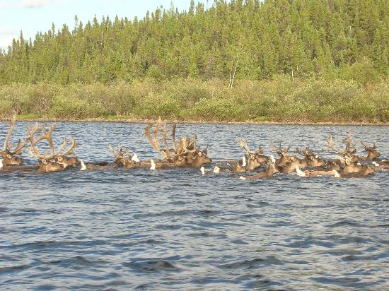 Nueltin Fly-In Lodges: Caribou crossing lake in front of lodge