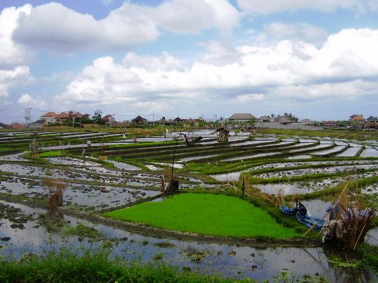 Grand Akhyati Villas and Spa: Rice Paddies in Umalas Village.