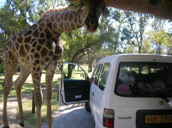 Harare, Zimbabue: Geoffrey the Giraffe
