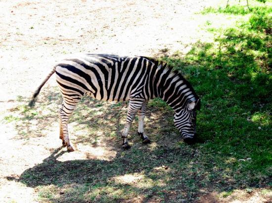 Johannesburg Zoo: zebra