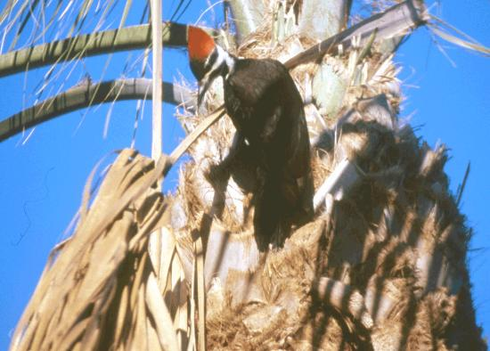 Kona Kai Motel: Morning Woodpecker