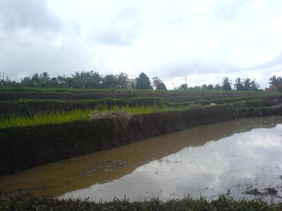คูตา, อินโดนีเซีย: Rice Paddy Fields on a Cycling Trip