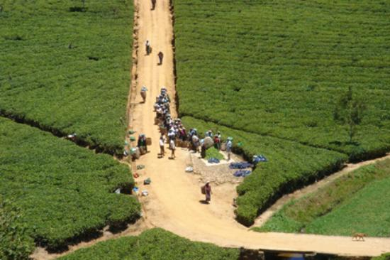 Ceylon Tea Trails - Relais & Chateaux: Tea Pickers