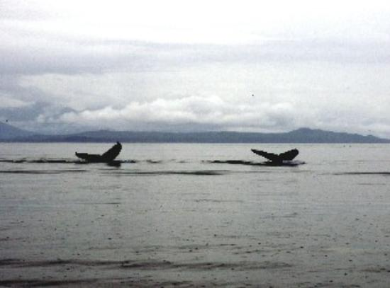 Glacier Bay's Bear Track Inn: Twin tails-humpback whales passing by