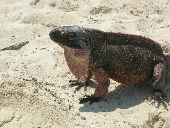 Great Exuma: Iguana at Allens Cay