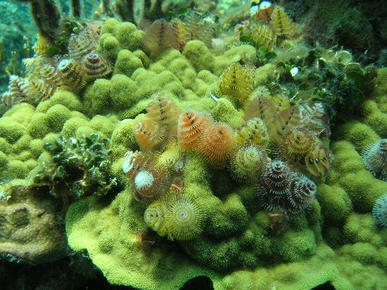 "Gran Exuma: ""Christmas Tree"" worms on coral head"