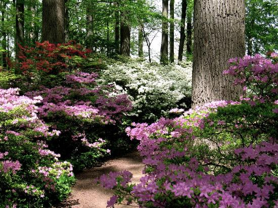 Winterthur Museum, Garden & Library: Azalea woods at Winterthur