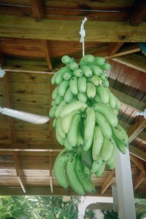 Seastar Inn: bananas hanging from bar just picked from trees by side of pool