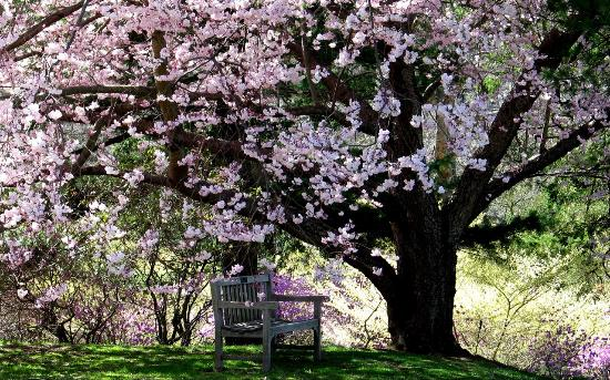 Winterthur, DE: Cherry tree in bloom
