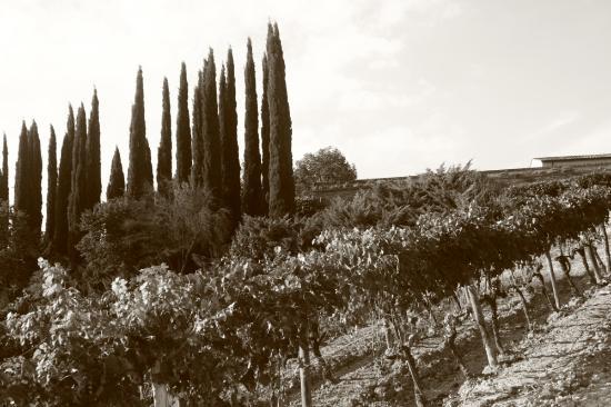 Torrita di Siena, Italy: vinyard at Altasino in Montalcino
