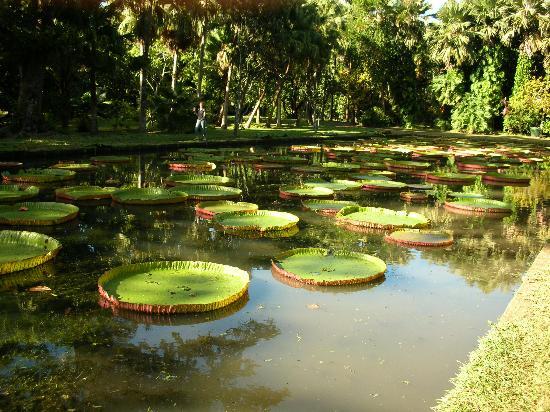 Club Med La Pointe aux Canonniers : ninfee giganti al giardino botanico