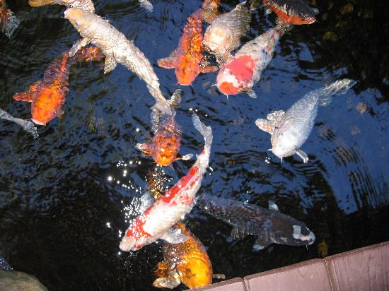 Honor Mansion, A Wine Country Resort: Adorable Koi in the HM pond