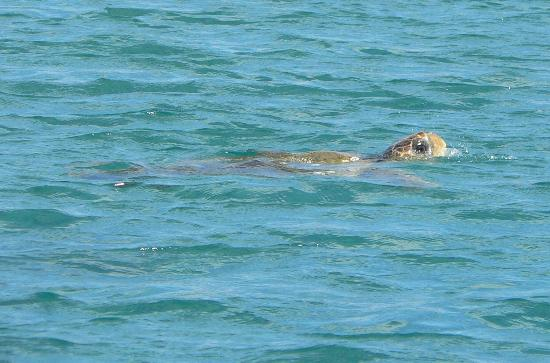 Venus Hotel & Suites: Wonderful turtles (Caretta caretta)