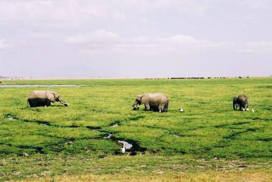 Amboseli Sopa Lodge: Amboseli's elephants